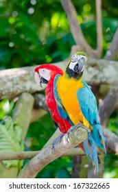Colorful couple macaws sitting on the branch