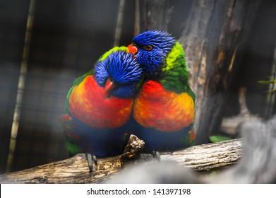 Colorful Couple of Parrots