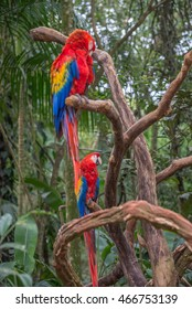 Colorful couple of red and green Macaw aviary parrots portrait