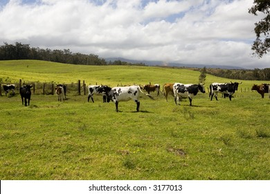 Colorful cows in pasture