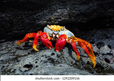 Colorful crab on a rock in the Galapagos