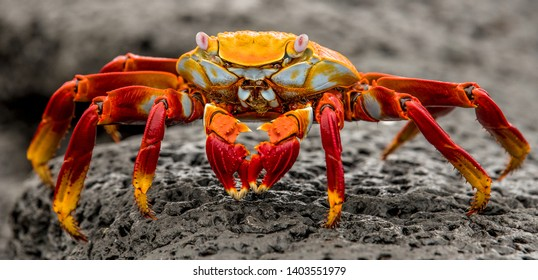 Colorful Crab taken in the Galapagos Islands. This crab was found on the rocky beach outside the Charles Darwin observatory on the island of Santa Cruz.