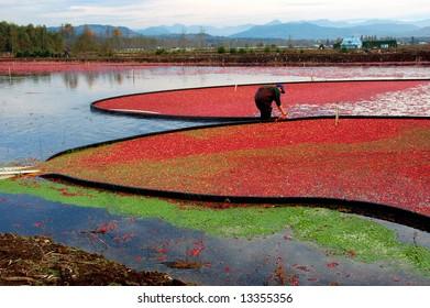 Colorful cranberry bog in harvest season