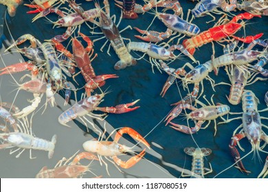 Colorful Crayfish (Procambarus clarkii), also known as crawfish, crawdads, freshwater lobsters, mountain lobsters,mudbugs or yabbie.