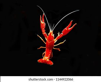 The colorful of crayfish shrimp (Procambalus clarkii) on black isolated background. Crayfish, crawfish, crawdads, freshwater lobsters, mountain lobsters, mudbugs or yabbies, are freshwater crustaceans
