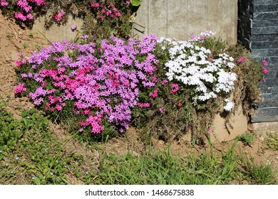 Colorful Creeping phlox or Phlox subulata or Moss phlox or Moss pink or Mountain phlox evergreen perennial flowering plant planted in front of family house wall on warm sunny spring day