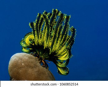 Colorful crinoid on a hard coral