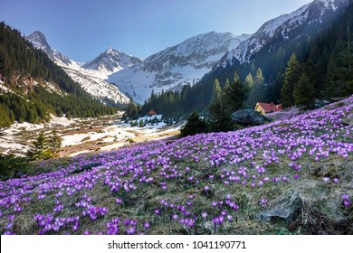 Colorful crocus flowers and spring landscape in the Carpathian mountains, Transylvania, Romania