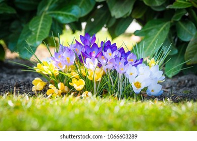 Colorful crocus flowers in various colors in the spring blooming in the garden