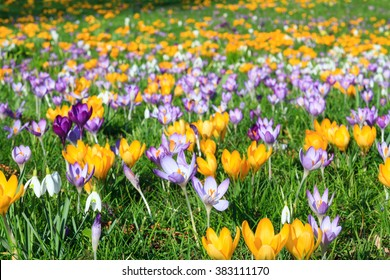 Colorful crocus on a meadow in spring, Germany