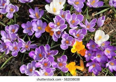 Colorful crocuses bloom in early spring.