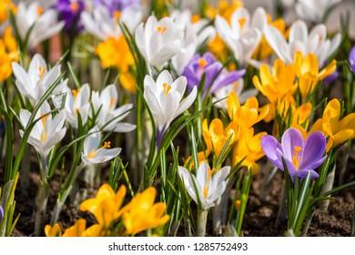 Colorful crocuses blooming in spring on flowerbed