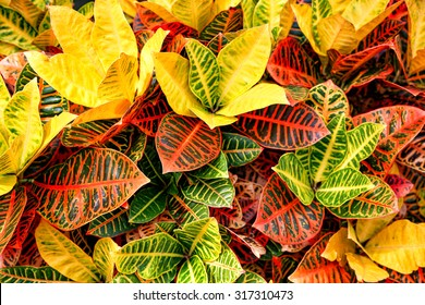 Colorful Croton Leaves Background - Shutterstock ID 317310473