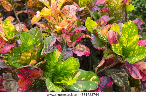Colorful croton leaves in jungle
