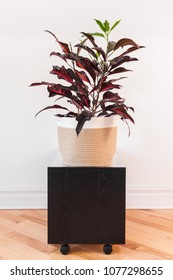 Colorful Croton plant in a textile basket, on a black side table with wheels.
