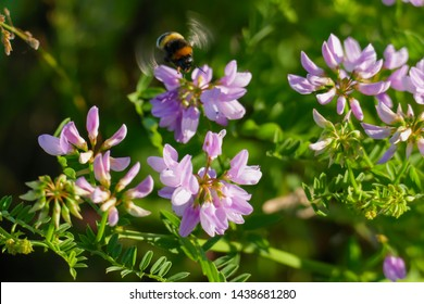 Colorful crown vetch, vetch, securigera varia with a bumblebee collecting nectar  - Shutterstock ID 1438681280