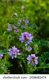 Colorful crown vetch, vetch, securigera varia on a meadow in summer