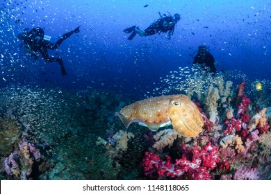 Colorful Cuttlefish and SCUBA divers on a beautiful, healthy tropical coral reef