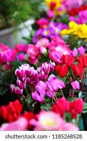 The colorful cyclamen