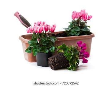 Colorful  cyclamen flowers ready for planting isolated on white