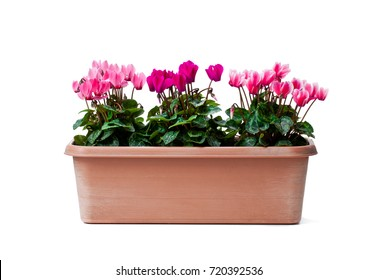 Colorful  cyclamen flowers in rectangular pot isolated on white