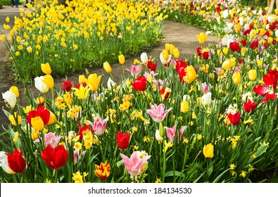 Colorful daffodils and tulips in lots of colors in  park in spring