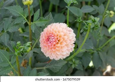 Colorful Dahlia bloom in a farm field  - Shutterstock ID 1675079539