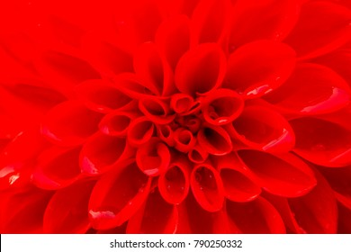 Colorful Dahlia garden flower in the nature covered with water drops after the rain. Beautiful wet petals on a sunny spring day. Fibonacci mathematical sequence or golden ratio found in nature.