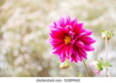colorful of dahlia and green leaf with sun light,