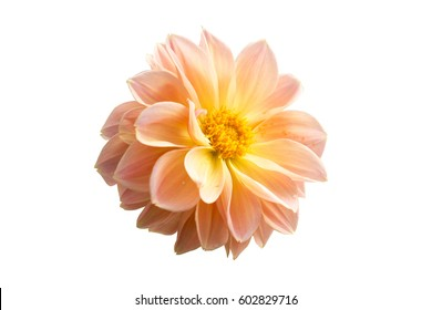 colorful of dahlia and green leaf with sun light,isolated on white