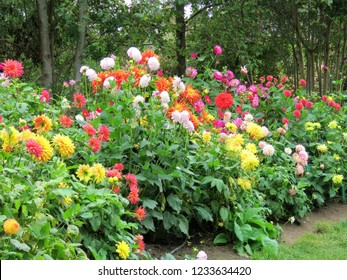 Colorful dahlias in the garden