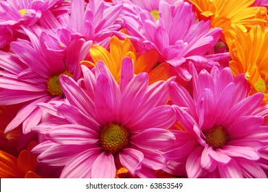 Colorful Daisies Vibrant pink and orange daisy blooms. Horizontal.