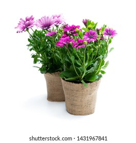 Colorful  daisy flowers in small pots decorated with sackcloth isolated on white