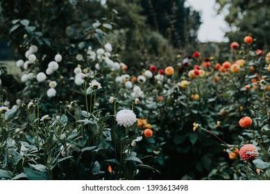 Colorful Dalia Cut Flower Garden