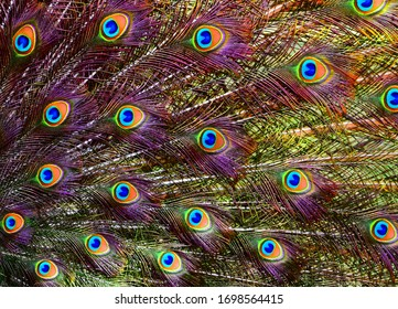 Colorful dancing peacock with beautiful feathers
