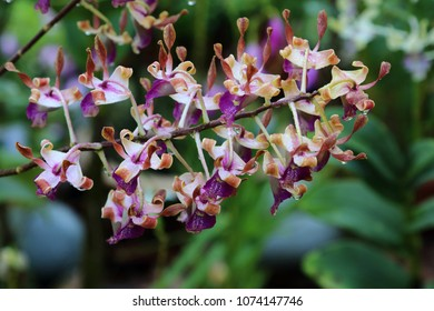 Colorful dendrobium orchid with morning dews in full bloom