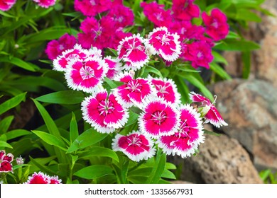 Colorful Dianthus flower (Dianthus chinensis)  (Caryophyllaceae) blooming in garden at Thailand.