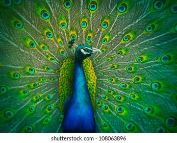 colorful digital painting of a male peacock displaying its tail feathers