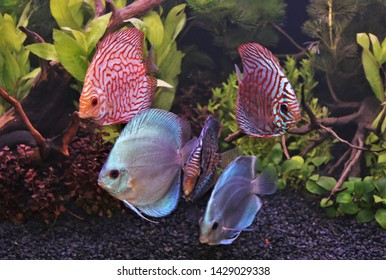 colorful discus (pompadour fish) are swimming in fish tank. Symphysodon aequifasciatus is American cichlids native to the Amazon river, South America,popular as freshwater aquarium fish.