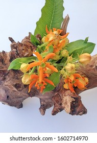 A colorful display of bright orange Asclepias Beatrix flowers with green leaves on a wooden branch