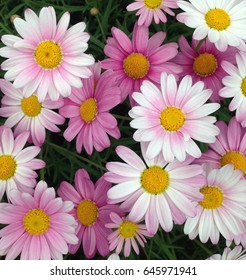 colorful display of Cape Marguerite Daisy flowers