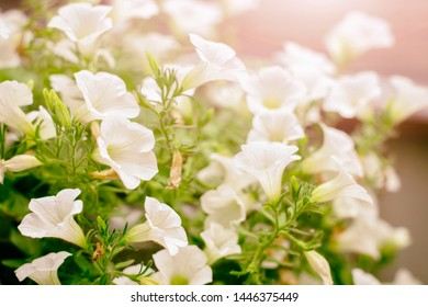 A colorful display of lovely Campanula flowers in white color. Campanula white.