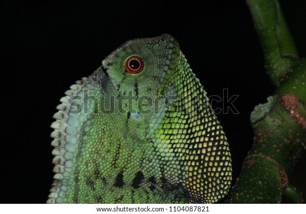 The colorful Doria s Angled headed lizard in the Southern of Thailand