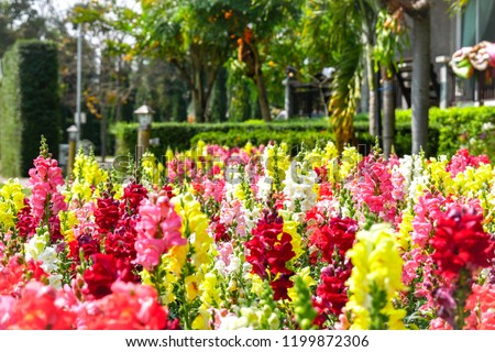 colorful dragon flowers field background snapdragon stock photo
