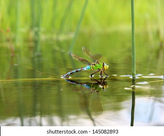 Colorful dragonfly on a plant reflecting in the water, isolated on natural background