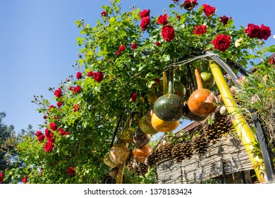 Colorful dried bottle gourds (or Calabash gourd, Flowered gourd, White flowered gourd) hanging in the garden gate with red roses