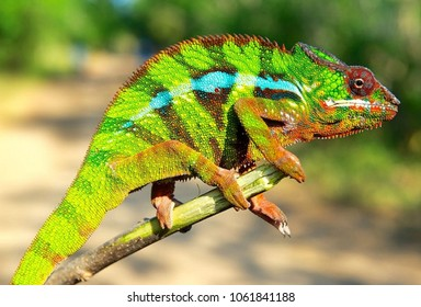 Colorful driskel veiled color chameleon with tongue