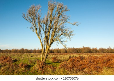 Colorful Dutch landscape in autumnal colors, a blue sky and a solitairy bare tree.