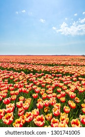Colorful Dutch tulips in a flower field and a windmill in Holland under a sunny blue sky