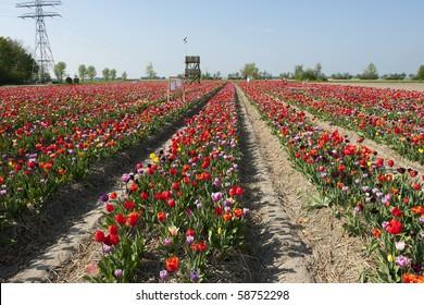 Colorful Dutch tulips in flower fields outdoor